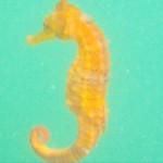 Rare seahorse.
